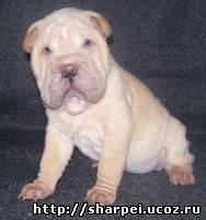http://sharpei.ucoz.ru/_bl/0/49438000.jpg