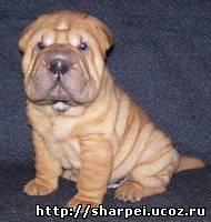 http://sharpei.ucoz.ru/_bl/0/80005351.jpg