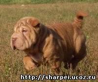 http://sharpei.ucoz.ru/_bl/0/96165.jpg