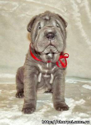 http://sharpei.ucoz.ru/_ph/222/2/693861563.jpg